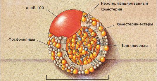 Причины повышения холестерина в крови у женщин 30 лет
