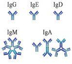 анализ на иммуноглобулин