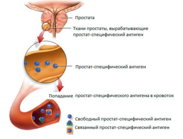Уровень пса в крови норма у мужчин