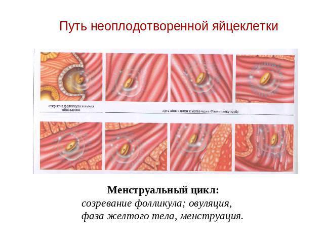 неоплодоворенная яйцеклетка