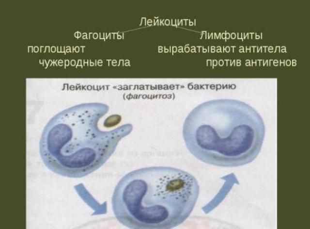 фагоциты